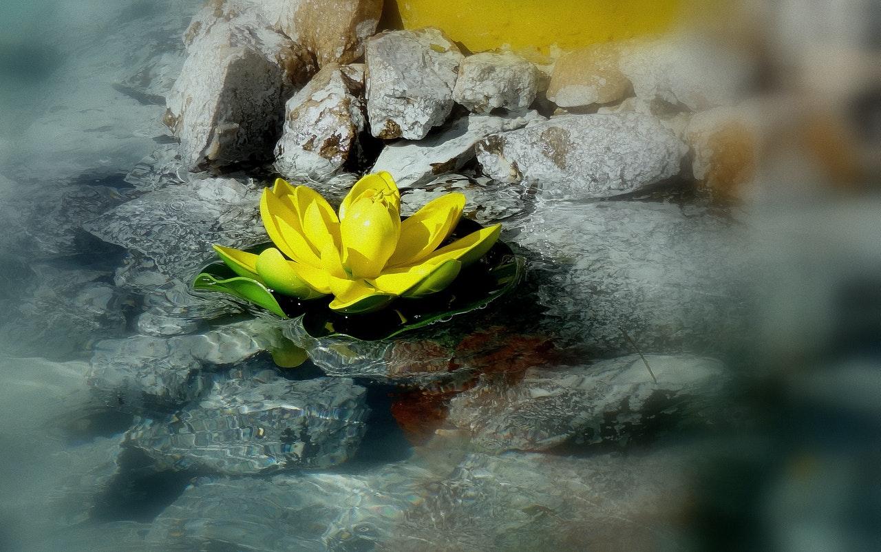 roche avec une fleur de nénuphars