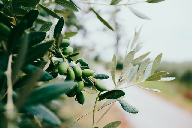 olivier avec une route en fond