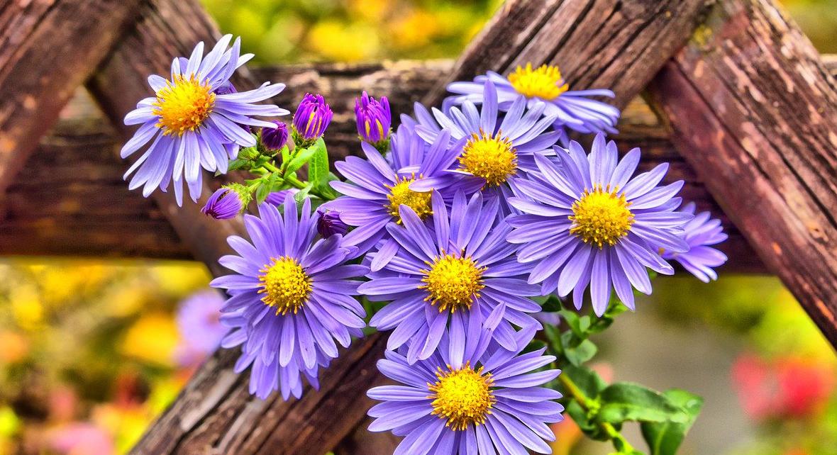 fleur mauve sur une cloture en bois