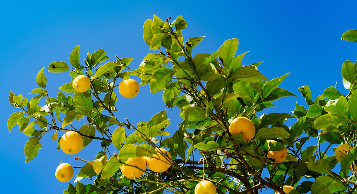 citronnier avec de nombreux citron et un ciel bleu