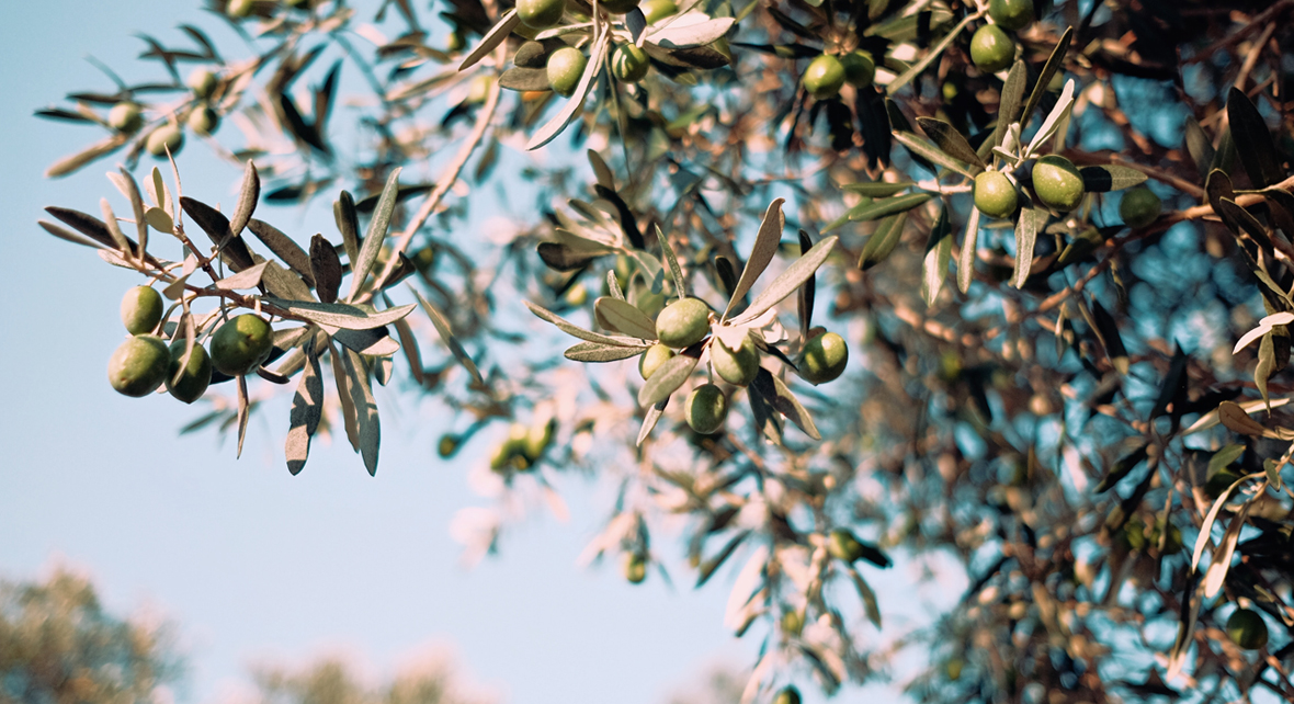 olivier avec des olives et un ciel bleu