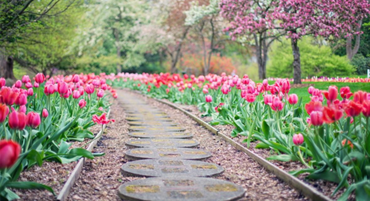 jardin avec tulipe rose
