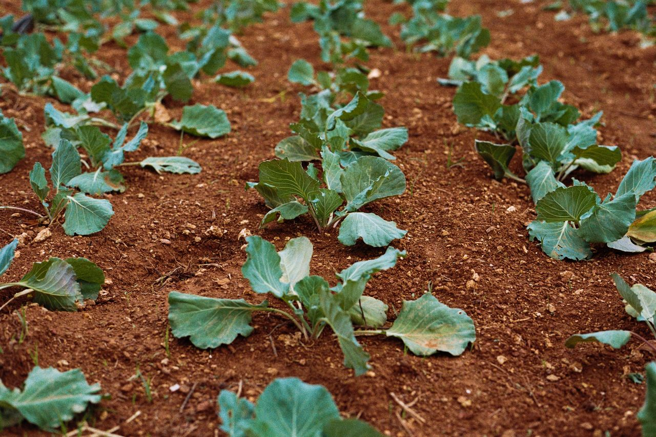potager et légumes